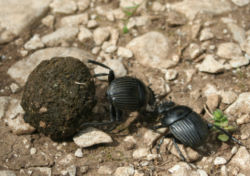 Where do you want to take this ball of dung and brood? How about the nearest Bolivian pudding factory? Perfect.