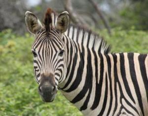 zebra ungulate
