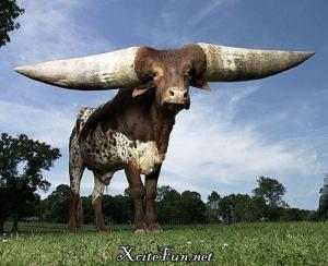 Luther, an Africa watusi steer owned by Janice Wolf of Gassville, Arkansas. Also holds the record for most damage done in a china shop.