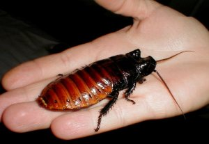 This is just one Madagascar hissing cockroach.