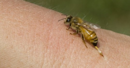 bee sting research