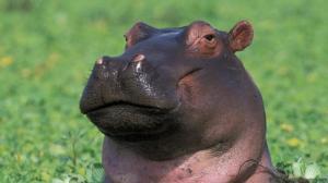 smug hippo