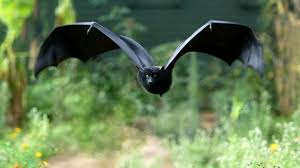 big black bat