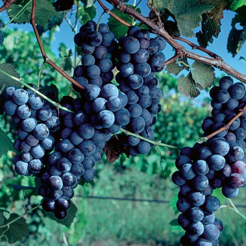 grapes for testing